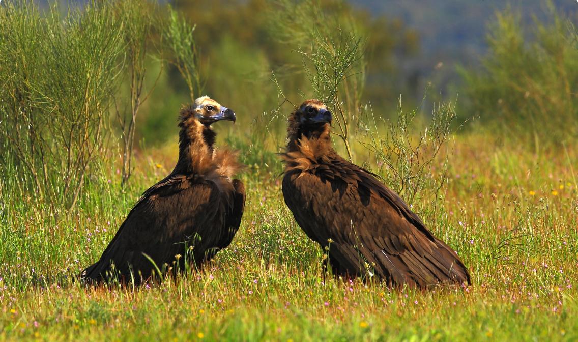 conservacion-del-buitre-negro
